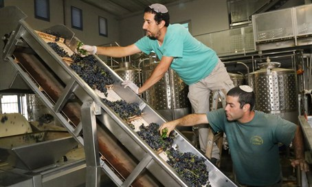 Wine-making in Judea and Samaria